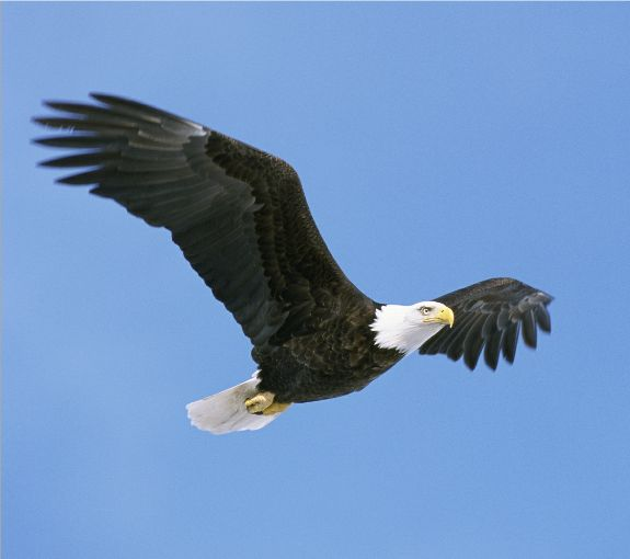 The Meaning Of America Symbol Of The Eagle Visionthoughts Blog